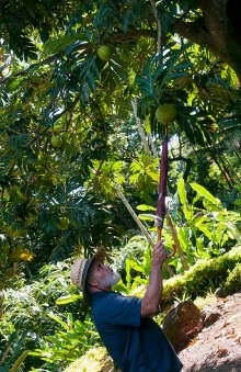 Allerton Gardens, Hawaii, breadfruit tree