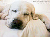 Ambrose, the guide dog for legally blind; Kurt Weston's guide dog. December 2011