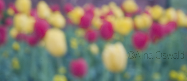 Bed of Tulips. Pinhole Photography by Alina Oswald. All Rights Reserved.