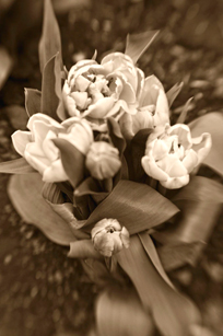 Sepia lensbaby bouquet of tulips. Photo by Alina Oswald.
