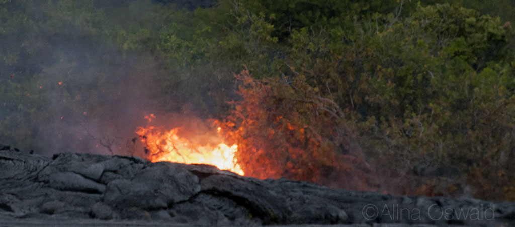 Tree branches catch on fire, as live lava finds its way down from the crater to the ocean. Volcano National Park. Big Island of Hawaii. Photo by Alina Oswald.