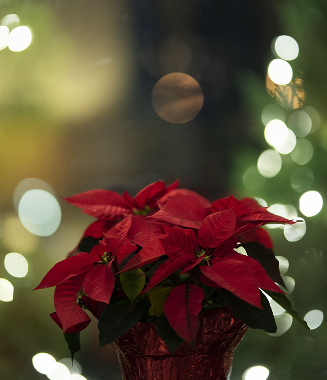 Poinsettia. Photo by Alina Oswald.
