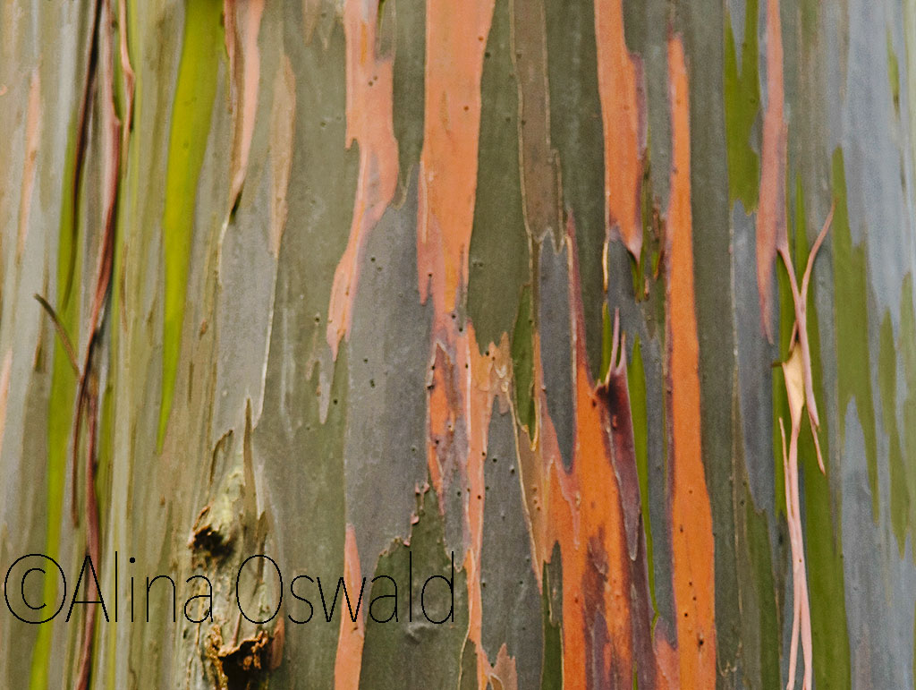 Rainbow tree bark. Photo by Alina Oswald. All Rights Reserved.