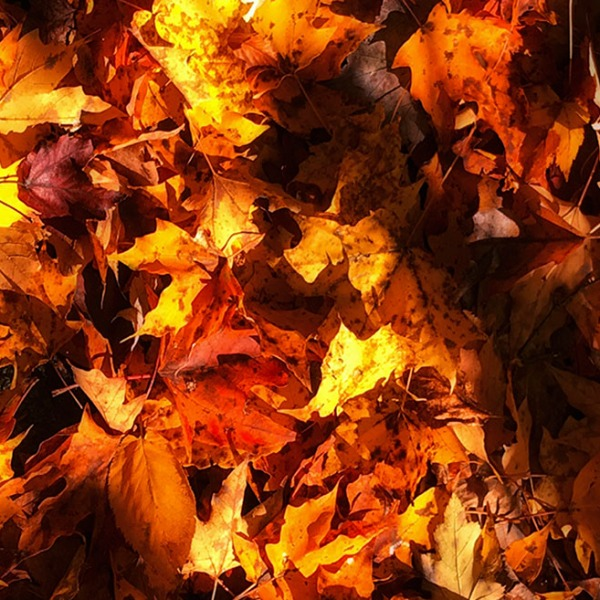 Fall Colors. Bed of dry and dead leaves. ©Alina Oswald. All Rights Reserved.